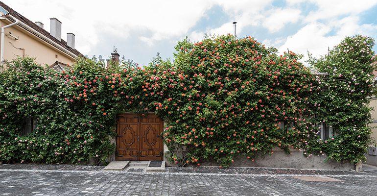 A rózsa az örök aduász, ha kertről van szó!